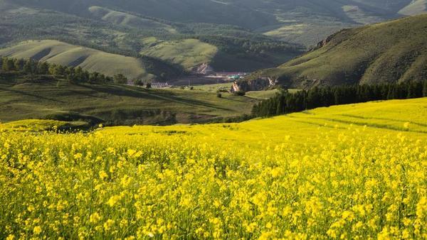 油菜花海泛金波 花海、村落、远山互相映衬。