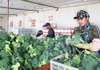 绿色蔬菜助农增收