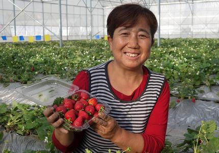 引進全國知名草莓苗繁育