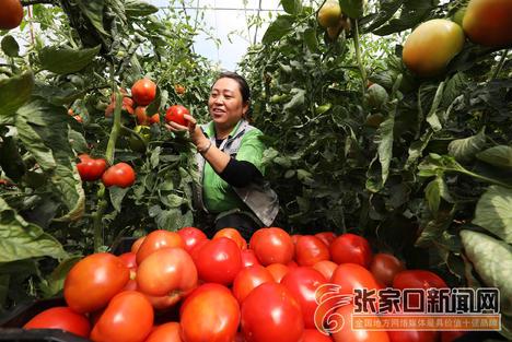 大棚西红柿喜丰收