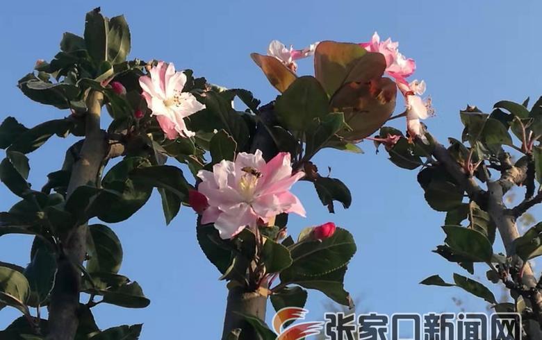 冬季將至海棠樹開花市民稱奇