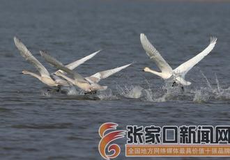成群候鸟翔集沽源湿地