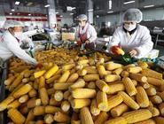 工業化鮮食玉米加工助增收