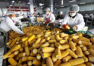 工业化鲜食玉米加工助增收