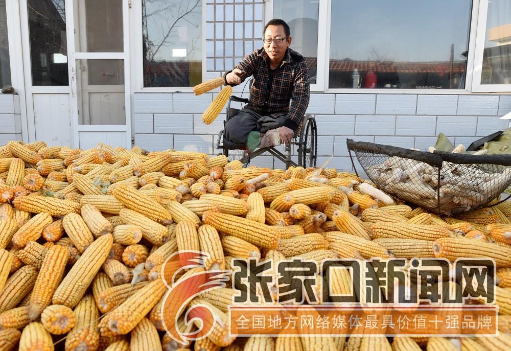 """张家口宣化:""""无腿硬汉""""武功亮 看着晾干的玉米武功亮捉摸着尽快卖掉。"""
