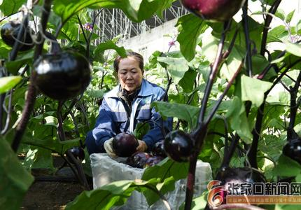 张家口宣化:山区绿色精品蔬菜走俏京津市场