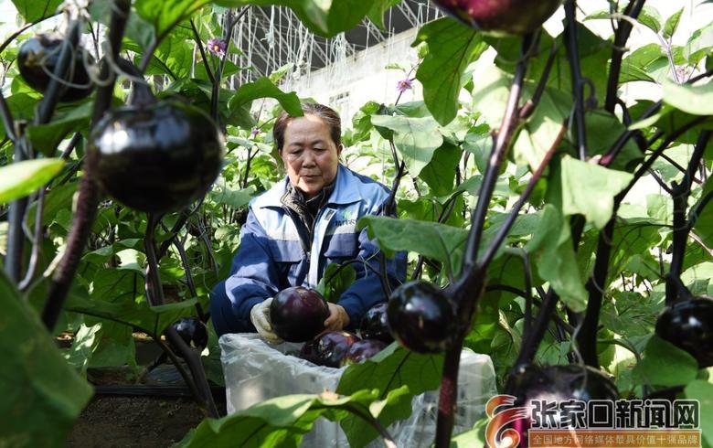 宣化:山区绿色精品蔬菜走俏京津市场
