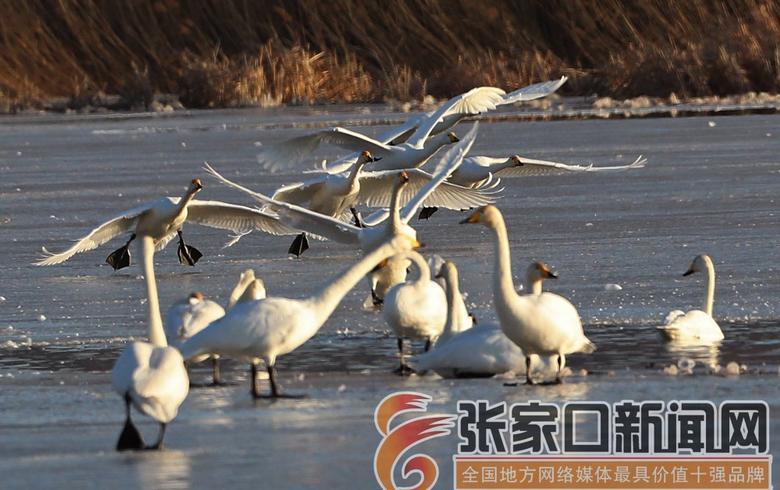 懷來:初冬天鵝冰面舞