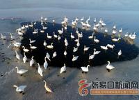 初冬湿地天鹅舞