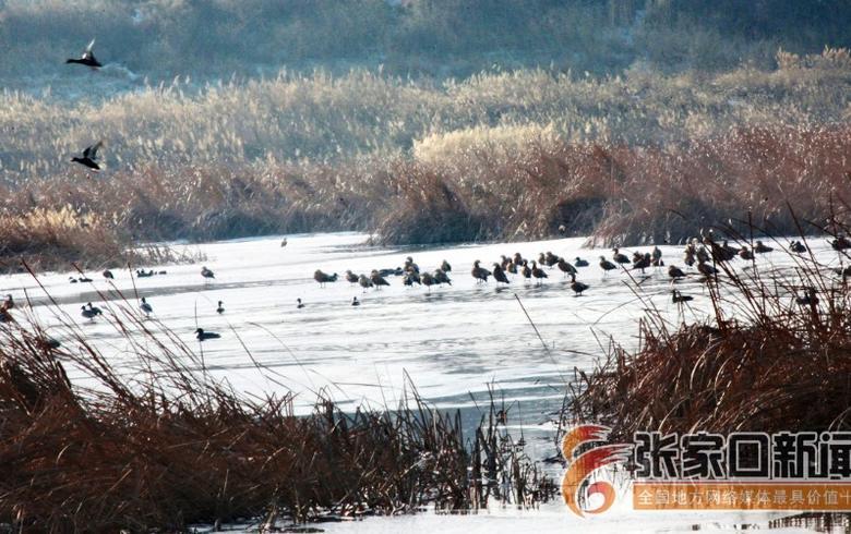 洋河濕地成為候鳥越冬驛站