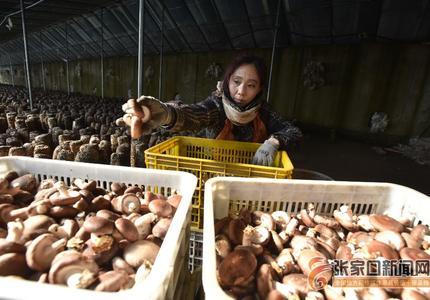 ?張家口涿鹿:小蘑菇種出大產業