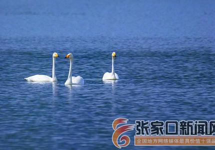天鵝湖畔天鵝舞