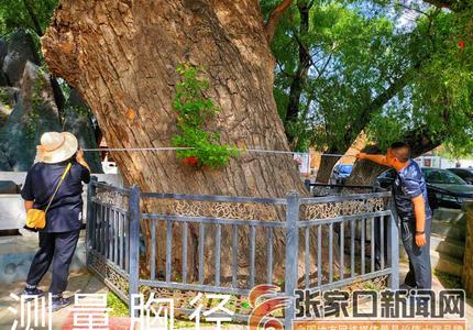 陽原縣園林綠化管理中心加強古樹名木管理