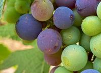 懷來產區釀酒葡萄陸續進入轉色期