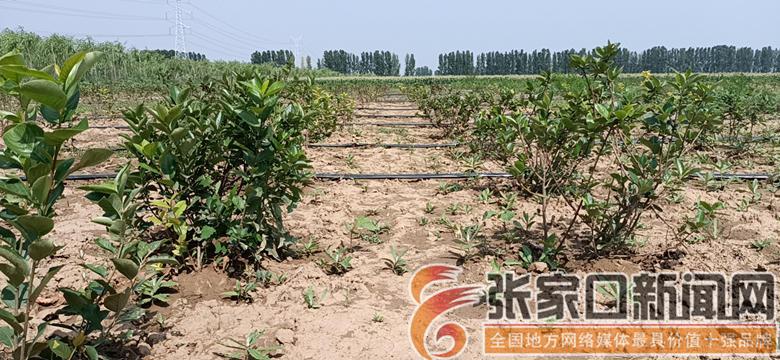 第七屯村:种下黑果花楸 酿造甜蜜生活