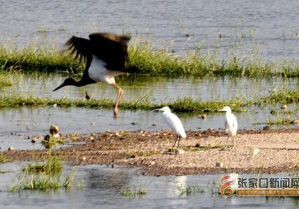 """張家口宣化:濕地生態修復讓珍禽工業重鎮""""安家"""""""