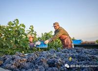 迦南酒庄进入葡萄采收季