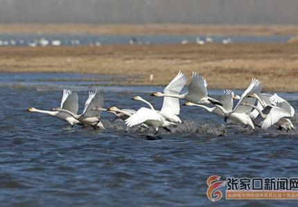张家口察北:候鸟翔集舞翩跹
