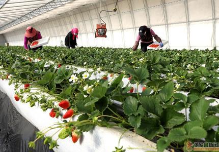 寒冬草莓红