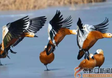 """候鸟连续多年""""光临""""张家口经开区明湖"""