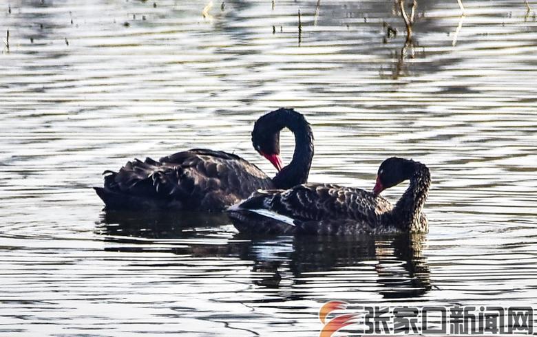 黑天鹅现身张家口宣化区洋河湿地
