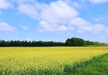 美炸了!塞北管理区万亩油菜花竞相绽放
