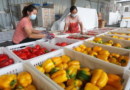 炫目!瓜果蔬菜撑起尚义设施农业
